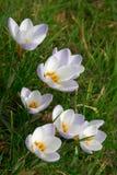 Flores del azafrán de la primavera fotos de archivo libres de regalías