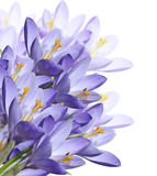 Flores del azafrán de la primavera Imágenes de archivo libres de regalías