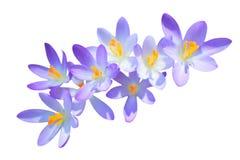 Flores del azafrán de la primavera de la lila aisladas Foto de archivo libre de regalías