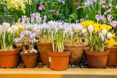 Flores del azafrán de la primavera en un pote de arcilla Fotografía de archivo