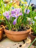 Flores del azafrán de la primavera en un pote de arcilla Fotos de archivo