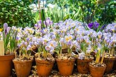 Flores del azafrán de la primavera en un pote de arcilla Imagen de archivo