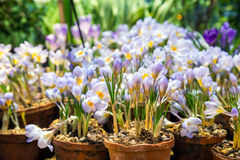 Flores del azafrán de la primavera en un pote de arcilla Fotografía de archivo libre de regalías