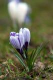 Flores del azafrán del día de fiesta de la primavera Fotos de archivo