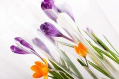 Flores del azafrán del día de fiesta del resorte Fotografía de archivo