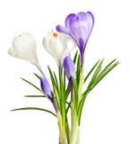 Flores del azafrán del resorte Imágenes de archivo libres de regalías
