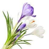 Flores del azafrán del resorte Imagenes de archivo