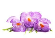 Flores del azafrán del resorte Foto de archivo libre de regalías