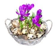 Flores del azafrán del resorte de Beautifil con los huevos de Pascua Fotografía de archivo