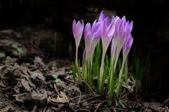 Flores del azafrán en bosque profundo Imagen de archivo libre de regalías