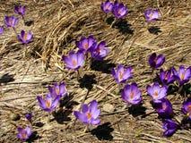 Flores del azafrán en hierba seca Imagen de archivo