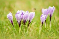 Flores del azafrán en jardín verde Fotos de archivo libres de regalías