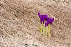 Flores del azafrán en la floración Imagen de archivo