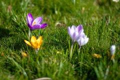 Flores del azafrán en la floración, púrpura, amarillo y blanco, horizontal imagenes de archivo