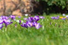 Flores del azafrán en la floración, tierra de en medio aguda, primero plano borroso, fondo borroso imagen de archivo