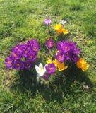 Flores del azafrán en la primavera foto de archivo