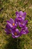 Flores del azafrán en primavera Imágenes de archivo libres de regalías
