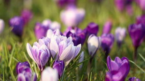 Flores del azafrán en primavera metrajes