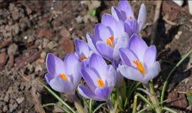 Flores del azafrán en resorte Foto de archivo