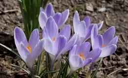 Flores del azafrán en resorte Imagen de archivo libre de regalías