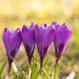 Flores del azafrán en resorte Imágenes de archivo libres de regalías