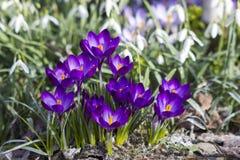 Flores del azafrán en sol de la primavera Foto de archivo libre de regalías
