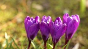 Flores del azafrán en sol de la primavera almacen de metraje de vídeo
