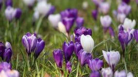 Flores del azafrán en sol de la primavera metrajes