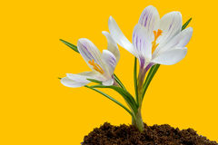 Flores del azafrán en sol de la primavera Fotografía de archivo libre de regalías