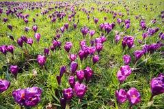 Flores del azafrán en tiempo de resorte Fotos de archivo libres de regalías