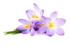 Flores del azafrán - flores frescas de la primavera Imagen de archivo