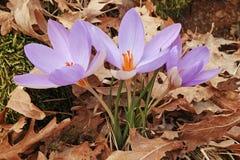 Flores del azafrán plateada Foto de archivo libre de regalías