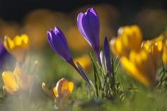 Flores del azafrán por una mañana de la primavera Fotografía de archivo