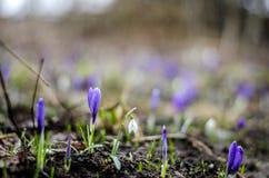 Flores del azafrán y del snowdrop Fotos de archivo libres de regalías