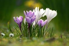Flores del azafrán Fotos de archivo