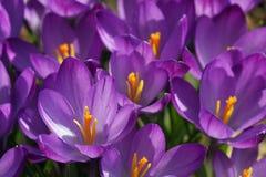 Flores del azafrán del resorte Imagen de archivo libre de regalías
