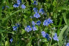 Flores del azul de la primavera Imágenes de archivo libres de regalías