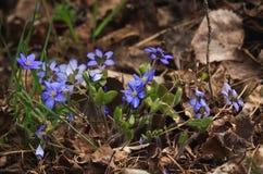 Flores del azul de la primavera Foto de archivo libre de regalías