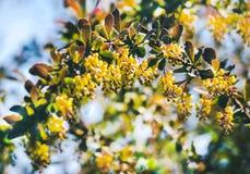 Flores del bérbero en el jardín Bérbero del flor Flor amarilla hermosa con la abeja Fotografía de archivo libre de regalías