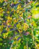 Flores del bérbero en el jardín Bérbero del flor Flor amarilla hermosa con la abeja Fotografía de archivo