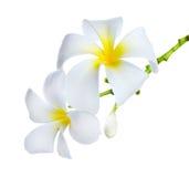 Flores del balneario del Frangipani Imagen de archivo libre de regalías