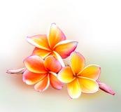 Flores del balneario del Frangipani en el fondo blanco Foto de archivo libre de regalías