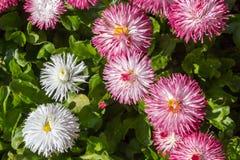 Flores del Bellis Foto de archivo