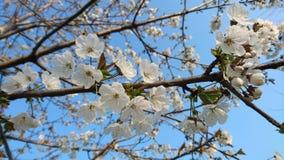 Flores del blanco de la cereza Fotografía de archivo libre de regalías