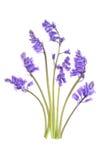 Flores del Bluebell Imagenes de archivo