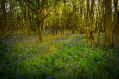 Flores del Bluebell entre los árboles imágenes de archivo libres de regalías