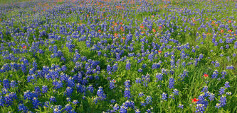 Flores del Bluebonnet en Ennis, TX, los E.E.U.U. Fotografía de archivo