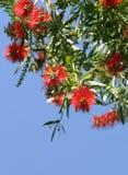 Flores del Bottlebrush Foto de archivo libre de regalías