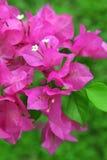 Flores del Bougainvillea Fotos de archivo libres de regalías