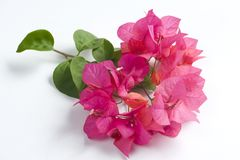 Flores del Bougainvillea Imágenes de archivo libres de regalías